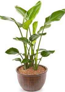 극락조 원형 실내공기정화식물