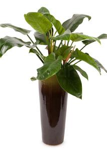 콩고 원형사기분 화분배달