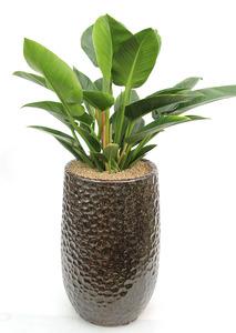 콩고마블 실내공기정화식물