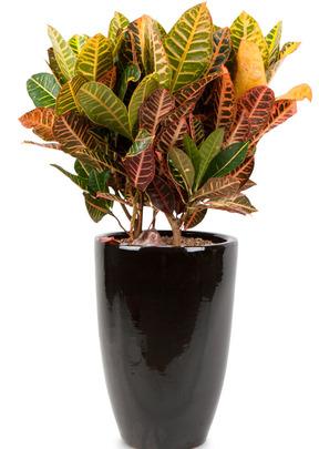 개업축하선물 잎크로톤