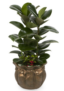 고무나무-공기정화식물