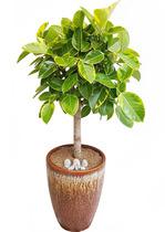 뱅갈고무나무-원형분