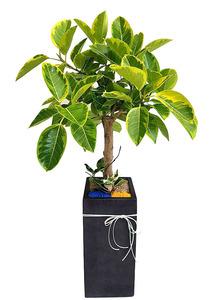 뱅갈고무-실내공기정화식물
