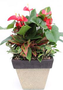 안시리움고급-공기정화식물