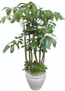 대엽홍콩 VIP 까페인테리어식물