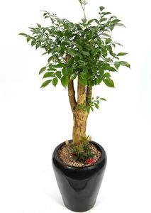 거실화분 해피트리-행복나무