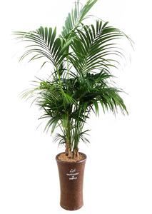실내공기정화식물 켄챠야자