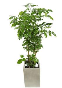 녹보수사각-실내공기정화식물