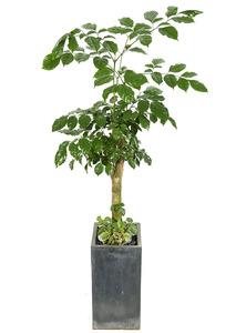 녹보수 실내관엽식물
