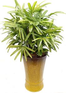 서황금 고급 실내관엽식물