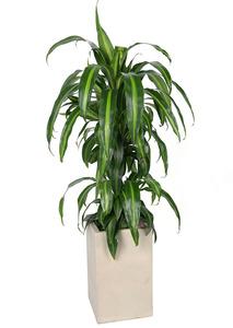 드라세나맛상-사각 실내식물