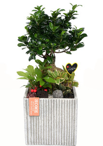 인삼펜다-공기정화식물
