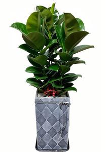 소피아고무-실내공기정화식물