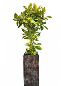 VIP명품 대형화분 뱅갈고무나무