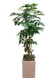 녹보수-실내관엽식물