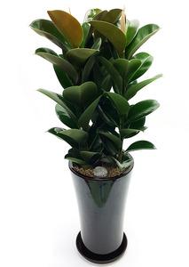 실내공기정화식물-고무나무