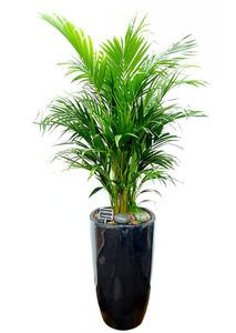 실내공기정화식물 아레카야자 화분배달
