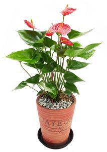 실내공기정화식물 안스리움