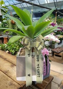 공기정화식물 아가베