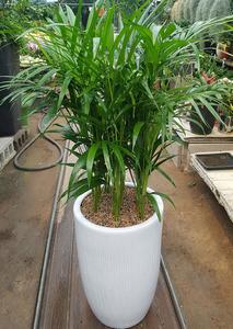 아레카야자 실내식물