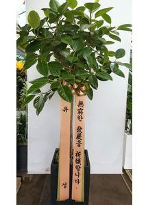 VIP뱅갈고무나무 개업화분