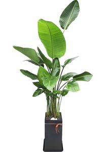 실내공기정화식물 극락조
