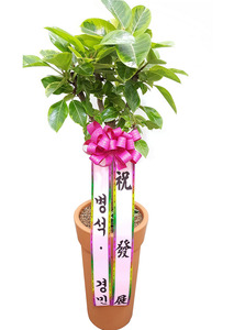 실내공기정화식물 뱅갈나무