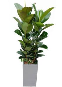 실내인테리어식물 고무나무