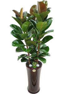 실내인테리어식물 인도고무