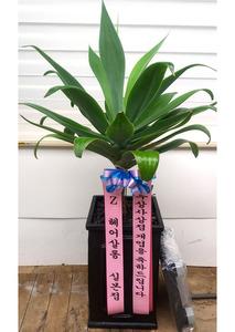 개업축하선물 아가베