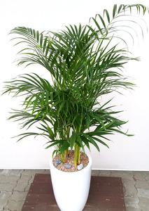 공기정화식물 아레카야자