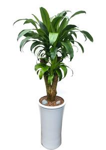 실내관엽식물 행운목
