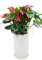 안스리움-공기정화식물