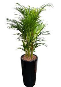 아레카야자-실내공기정화식물