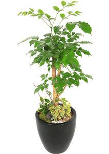 녹보수 실내공기정화식물