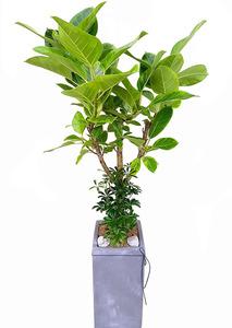 개업축하화분 - 뱅갈고무나무
