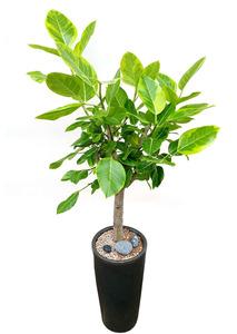 뱅갈고무나무-5