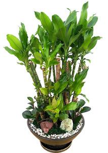 황금죽VIP 공기정화식물