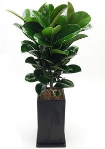 고무나무-실내공기정화식물