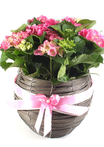 수국화분 개업꽃화분배달
